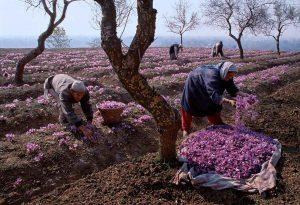 Iranian Saffron harvesting